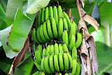 Banana Plants - St. George's, Grenada