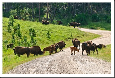 2011Jul31_Custer_State_Park_bison-2