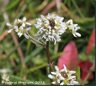 3-common-scurvy-grass