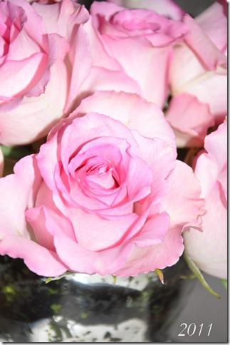 roses 019
