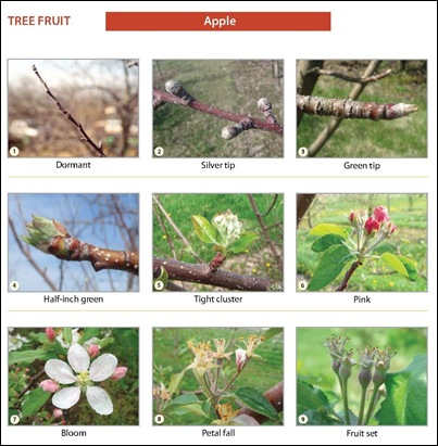 apple_growth_stages
