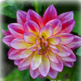 dahlia by Pam Kissner Sheedy - Digital Art Things ( fuschia, blooming, single flower, yellow, dahlia, flower )