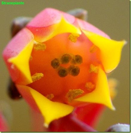 Echeveria purpusorum fiore macro