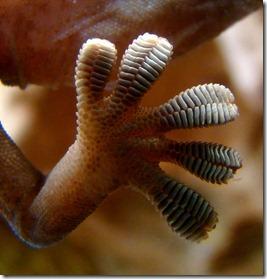 geckofoot