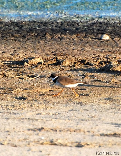 9. Semipalmated plover-kab