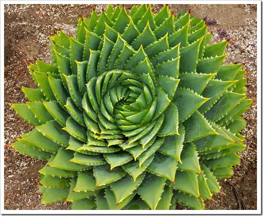 120929_SucculentGardens_Aloe-polyphylla_30