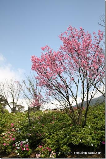 2010陽明山花季-櫻花&杜鵑