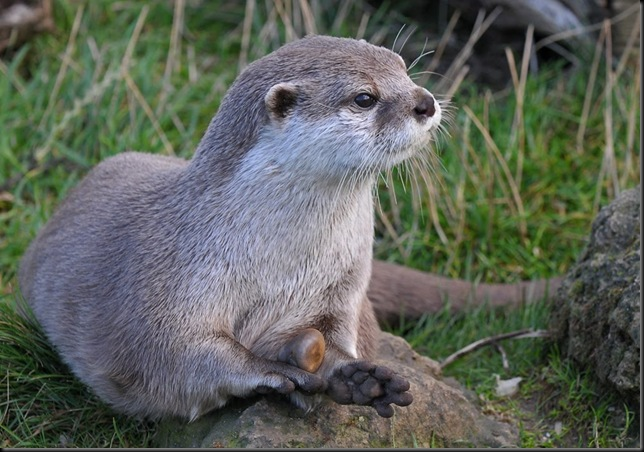 Asian Short-Clawed Otter with stone jpg