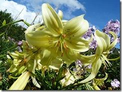 bpfh lilies