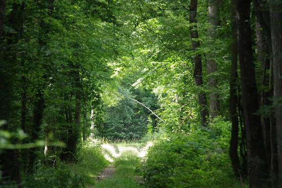 L'allée forestière, le 6 juillet 2012. Les Hautes-Lisières (Rouvres, 28). Photo : J.-M. Gayman