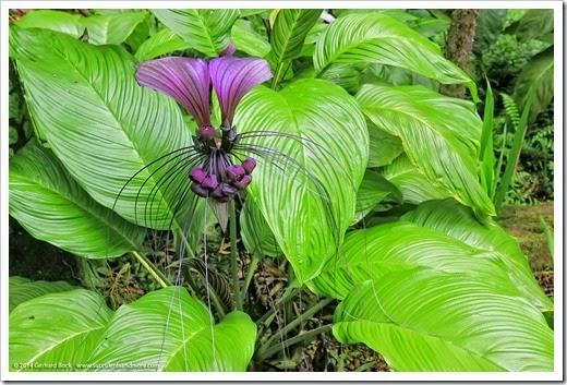 140726_HawaiiTropicalBotanicalGarden_Tacca-integrifolia_0001