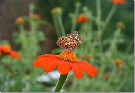 Tithonia, Mexican Sunflower, Butterfly
