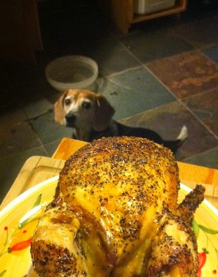 Beagle with Chicken