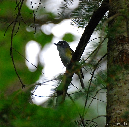1. blue-headed vireo-kab