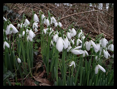 snowdrop2