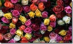 rosas_5