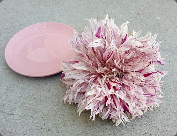 dahlia dinner plate543719_10151144813024336_1168606241_n blossom sweet