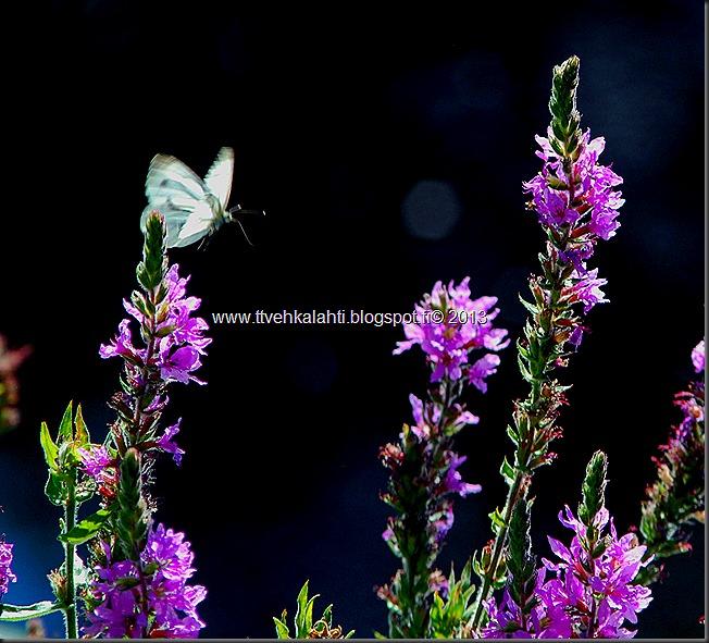 perhosia 060