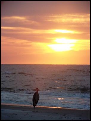 Great Blue watching sunrise
