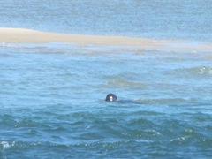 7.30.12 Chatham light beach seal near sand bar1