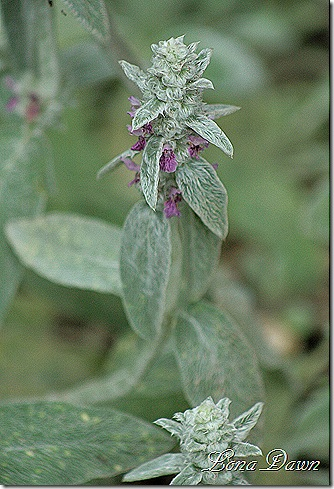 Stachys_LambsEar_June14