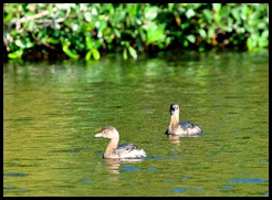 04a -  Pied-Billed Grebes