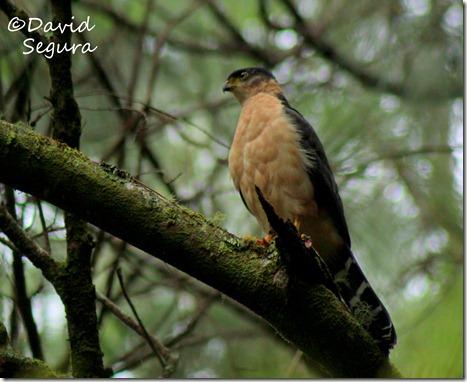Accipiter bicolor (3)