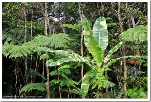 140805_Hawaii_BananaAeAe_006