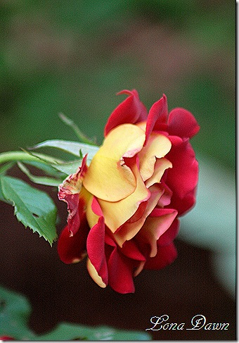Rose_Ketcup_Mustard_Floribunda3