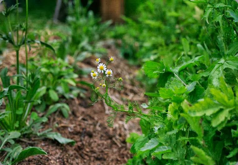 chamomile 549497_200473766744449_550898300_n  lindseymyra.com aka the liitle flower farm au