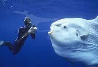 Amazing Pictures of Animals, photo, Nature, exotic, funny, incredibel, Zoo, ocean sunfish, Mola mola, or common mola, Alex (11)
