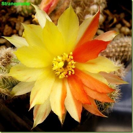 Echinopsis chamaecereus Harlekin fiore giallo rosso