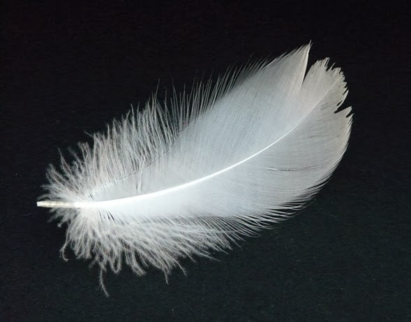 swan-feather-16307_640