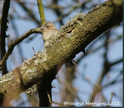 8-chaffinch-fledgling