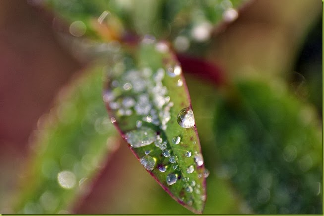 dew on hypericum leaf