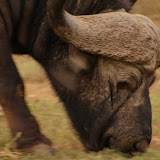 Cape Buffalo grazes in Kruger National Park, South Africa.