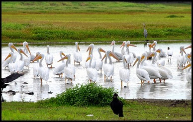 10 - Flock of Pelicans