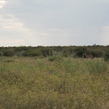 Tsumeb - Etosha - Autour du pan - Guepard (1).JPG