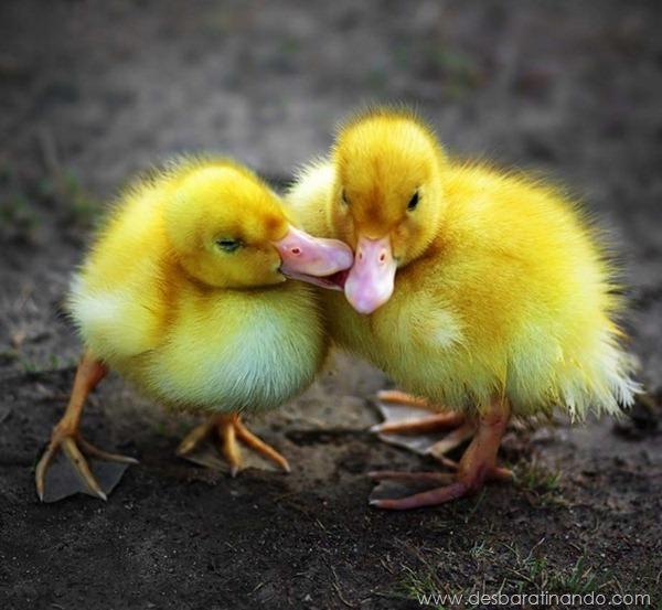 filhotes-patos-fofos-pequenos-desbaratinando (18)