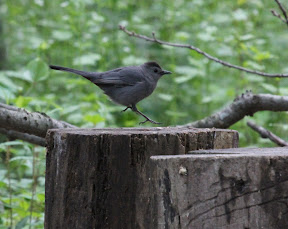 Gray Catbird: We are now approaching the runway.