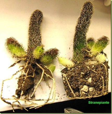 Stapelianthus pilosus 2008-12-16