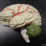 brain_model_01.JPG