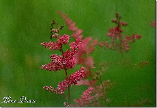 Astilbe_Red