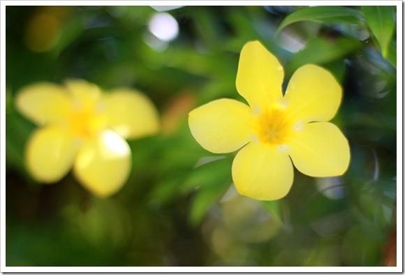 Jamaica Flower IMG_7040