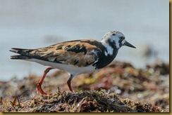 Ruddy Turnstone - Arenaria interpres,