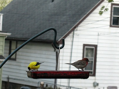 house finch and gold finch