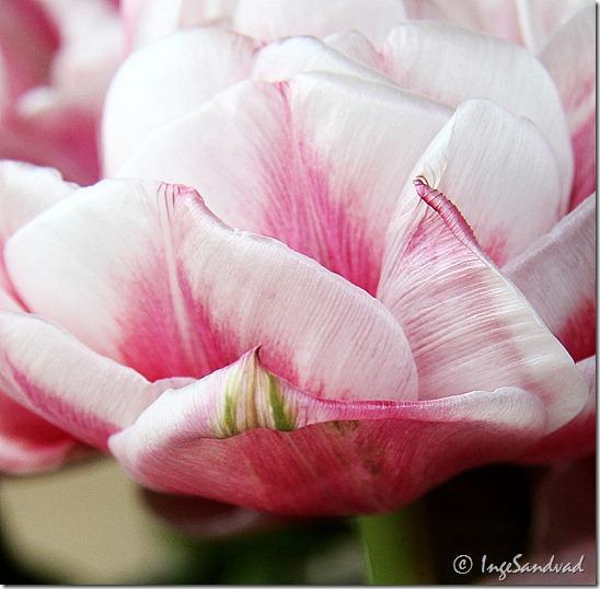 redigeret fyldt tulipan
