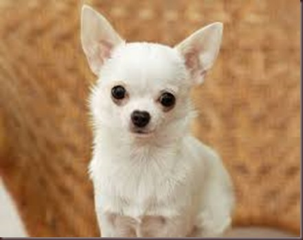 Amazing Animals Pictures Chihuahua (7)