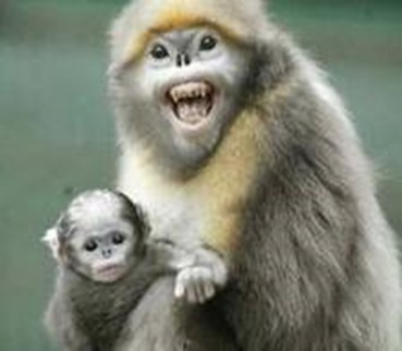 Amazing Pictures of Animals, photo, Nature, exotic, funny, incredibel, Zoo, Myanmar snub-nosed monkey, Alex (5)