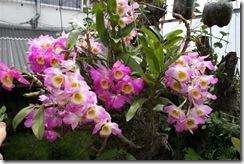 Dendrobium_-lado_1